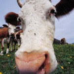 Is your child starting school this week? Well tell them to avoid the cow slurry.