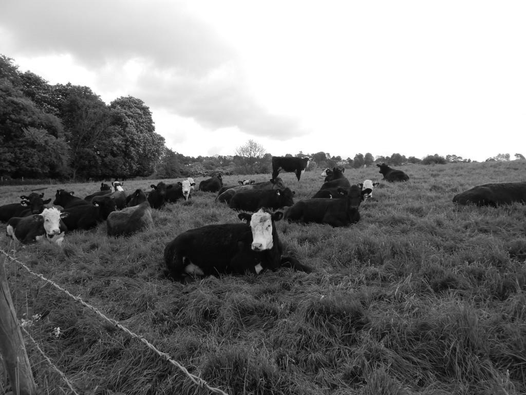 My Sunday Photo, #MySundayPhoto, blogging, photography, cows,