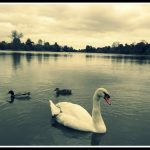 My Sunday Photo 19/10/2014 – Swan at Hever Castle
