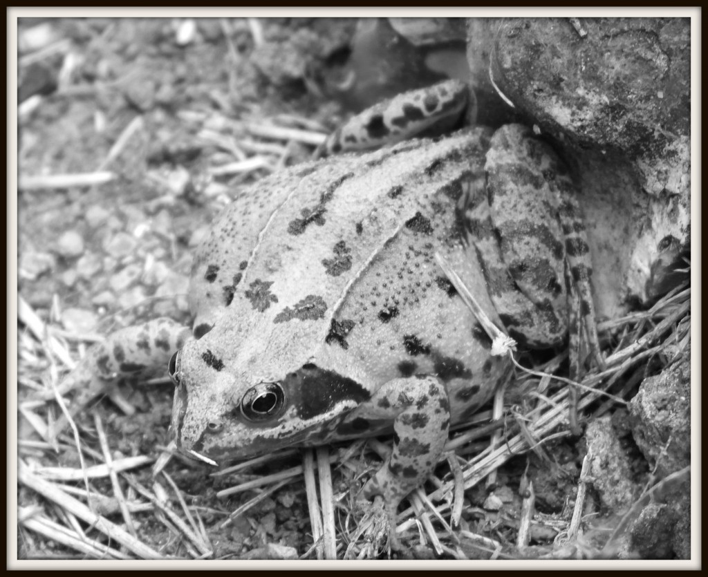 frog, wildlife photography, black and white photography, Podcastdove, podcastdove.com