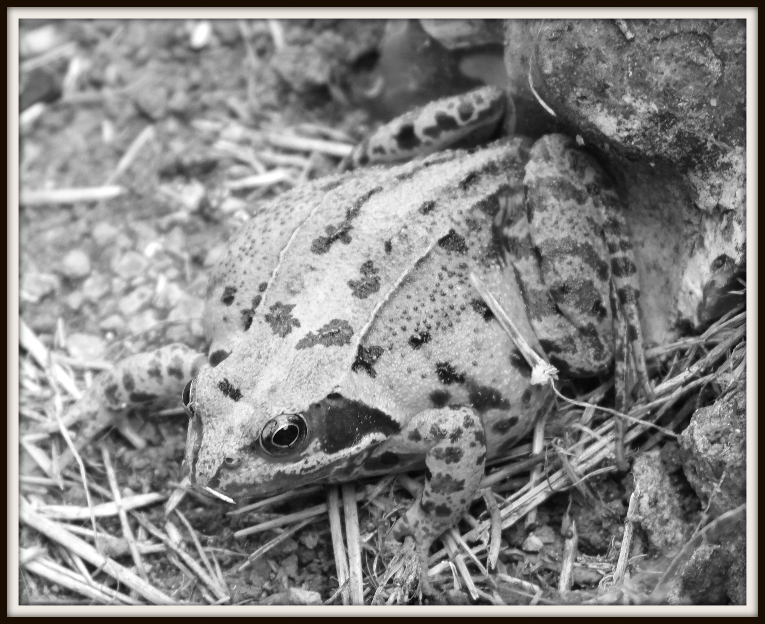 Frog in the wild (B&W photo project)