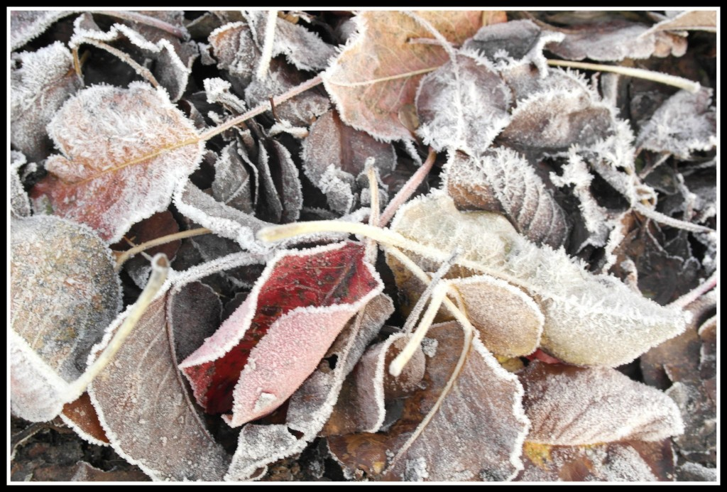 photography, blogging, leaves, frosty leaves