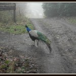 Why did the peacock cross the road? #MySundayPhoto