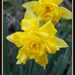 No ordinary daffodil #MySundayPhoto
