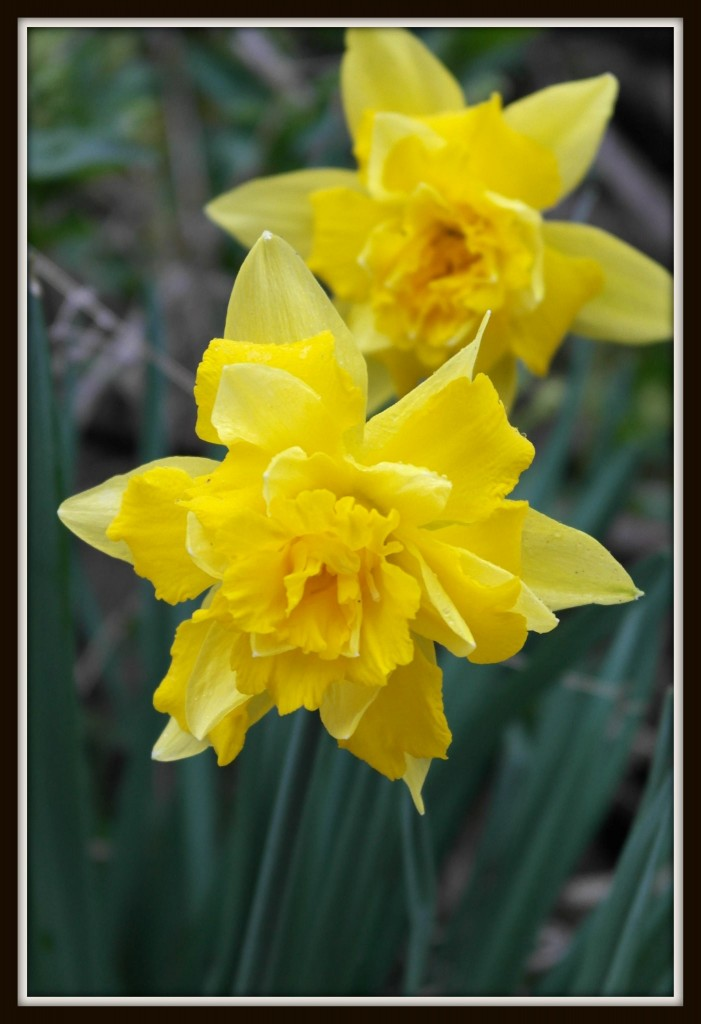 daffodil, spring, photography