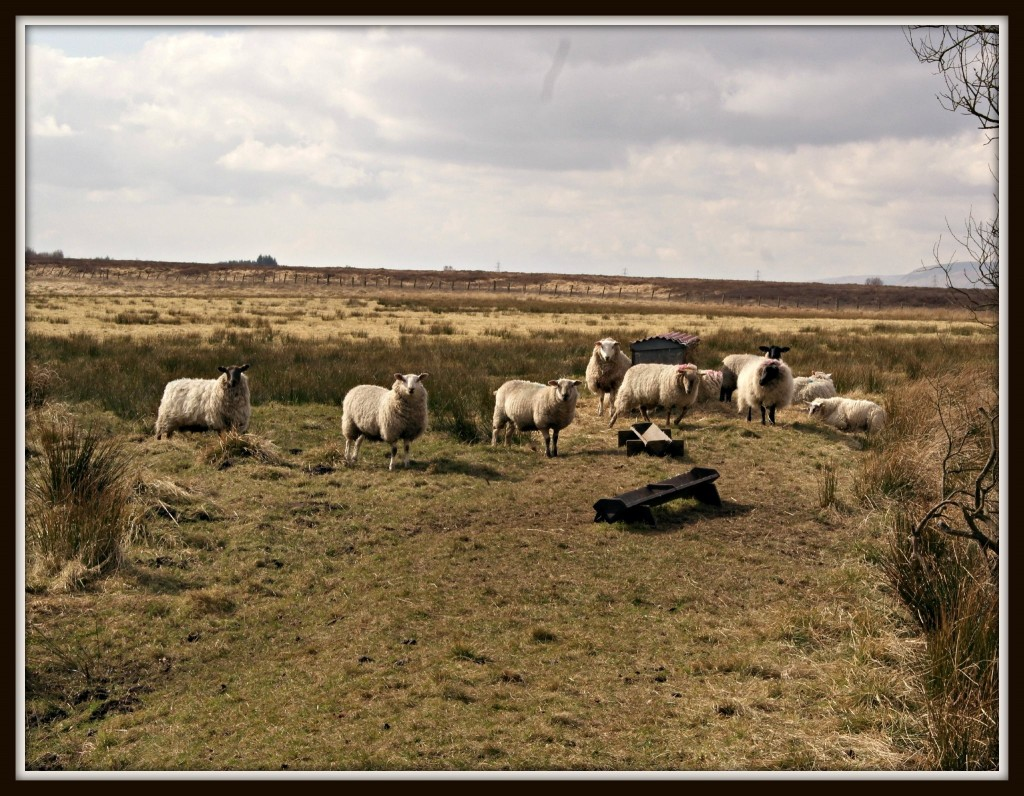 Scotland, Scottish lowlands, landscape, sheep