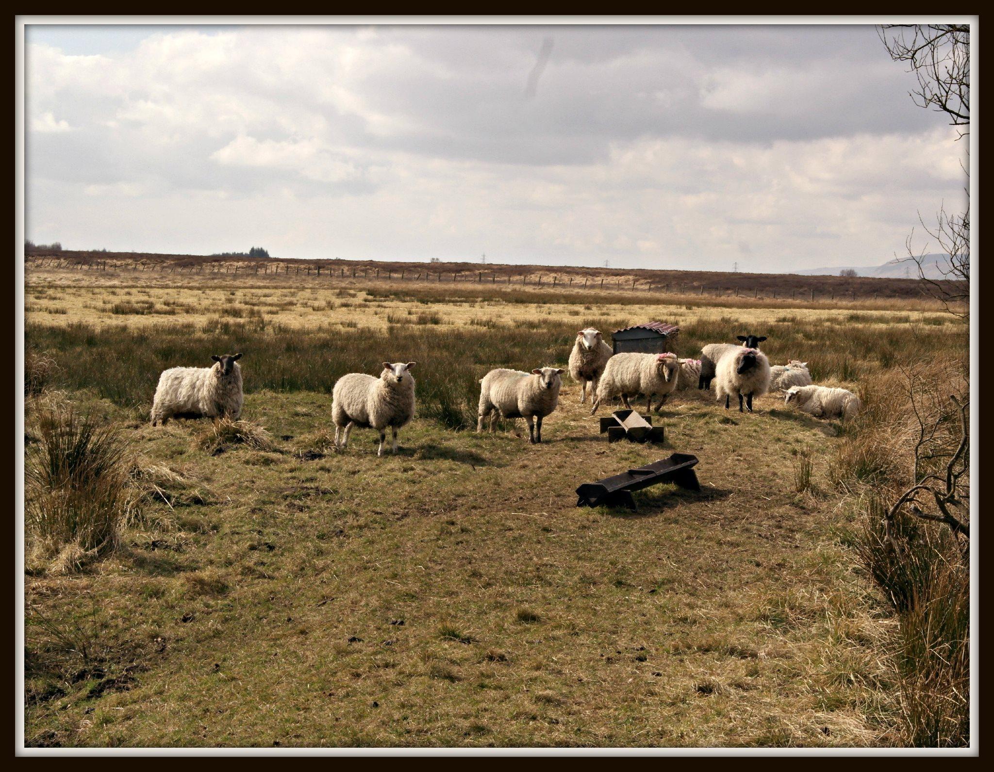 Lowland landscape, with sheep! #MySundayPhoto