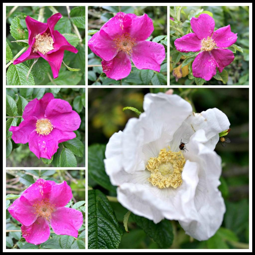Rose, roses, wild roses, dog roses, dog rose, wild rose, photography, blogging