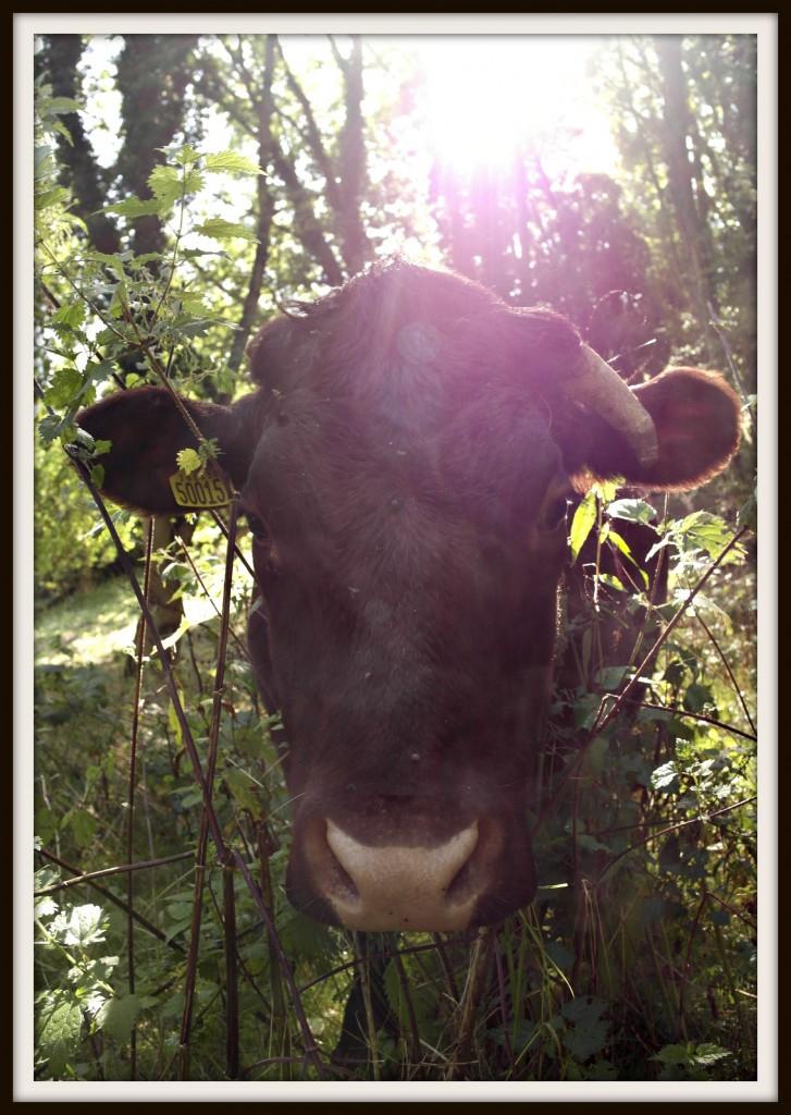 cow, cows, photoraphy, lens flare, blogging, #MySundayPhoto
