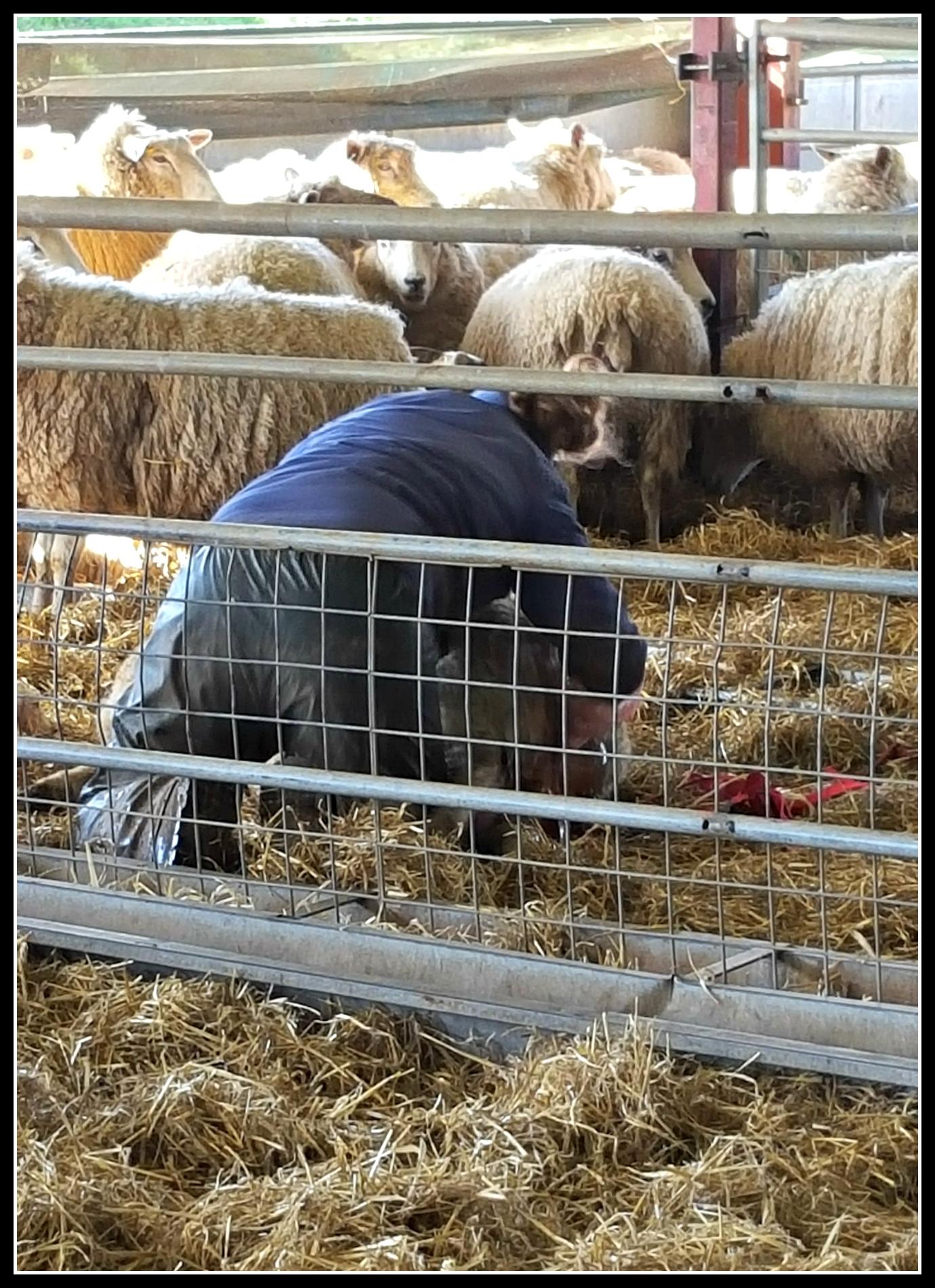 lambs, lambing, Cotswold Farm Park, Adam Henson, CountryKids, #CountryKids