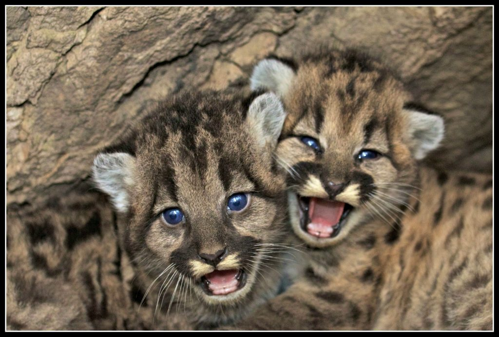 mountain lions, parenting, creative play, imagination, look in wonder