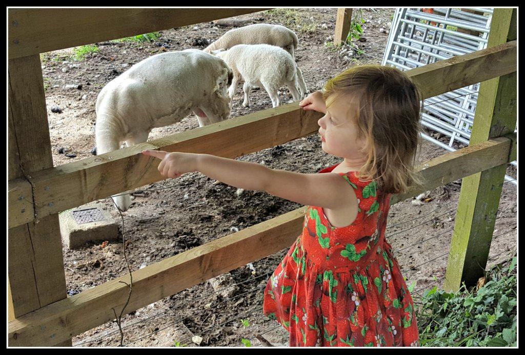 sheep, lamb, lambs, walking, active children, healhty children, farm, walk, walking
