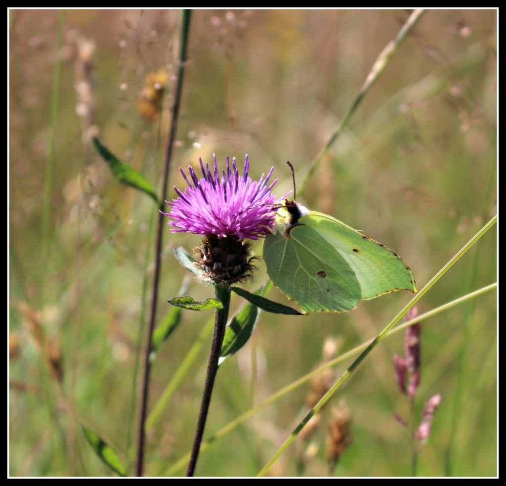 butterfly, knapweep, nature, meadow, summer's day, photography, #MySundayPhoto