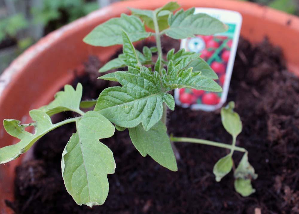 tomato plant, tomato plug plants, dadbloguk, dad blog uk, dadbloguk.com, John Adams, professional blogger John Adams, school run dad, gardening for children