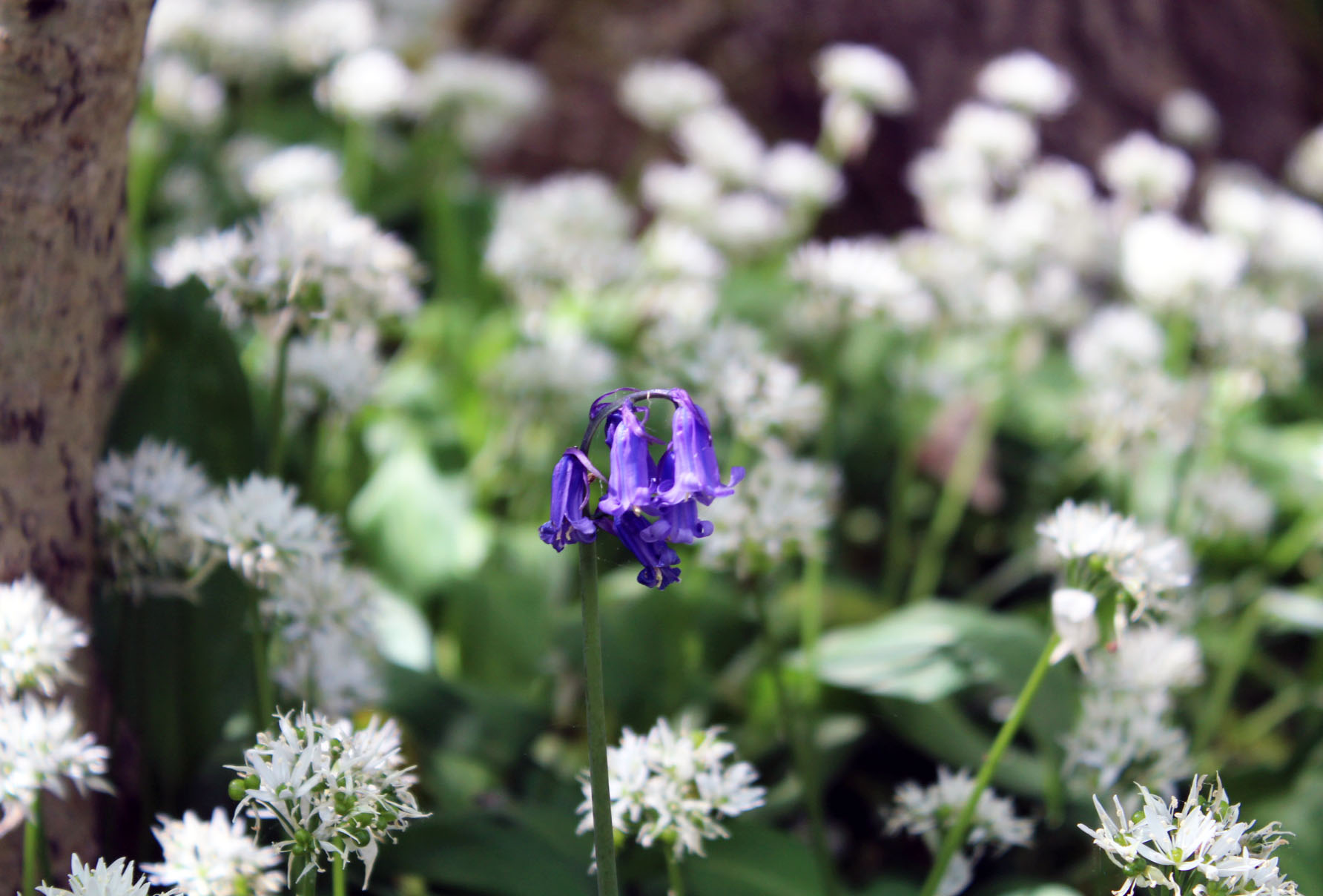 Bluebell, wild garlic, wild flowers, dadbloguk, #MySundayPhoto, dad blog uk, school run dad