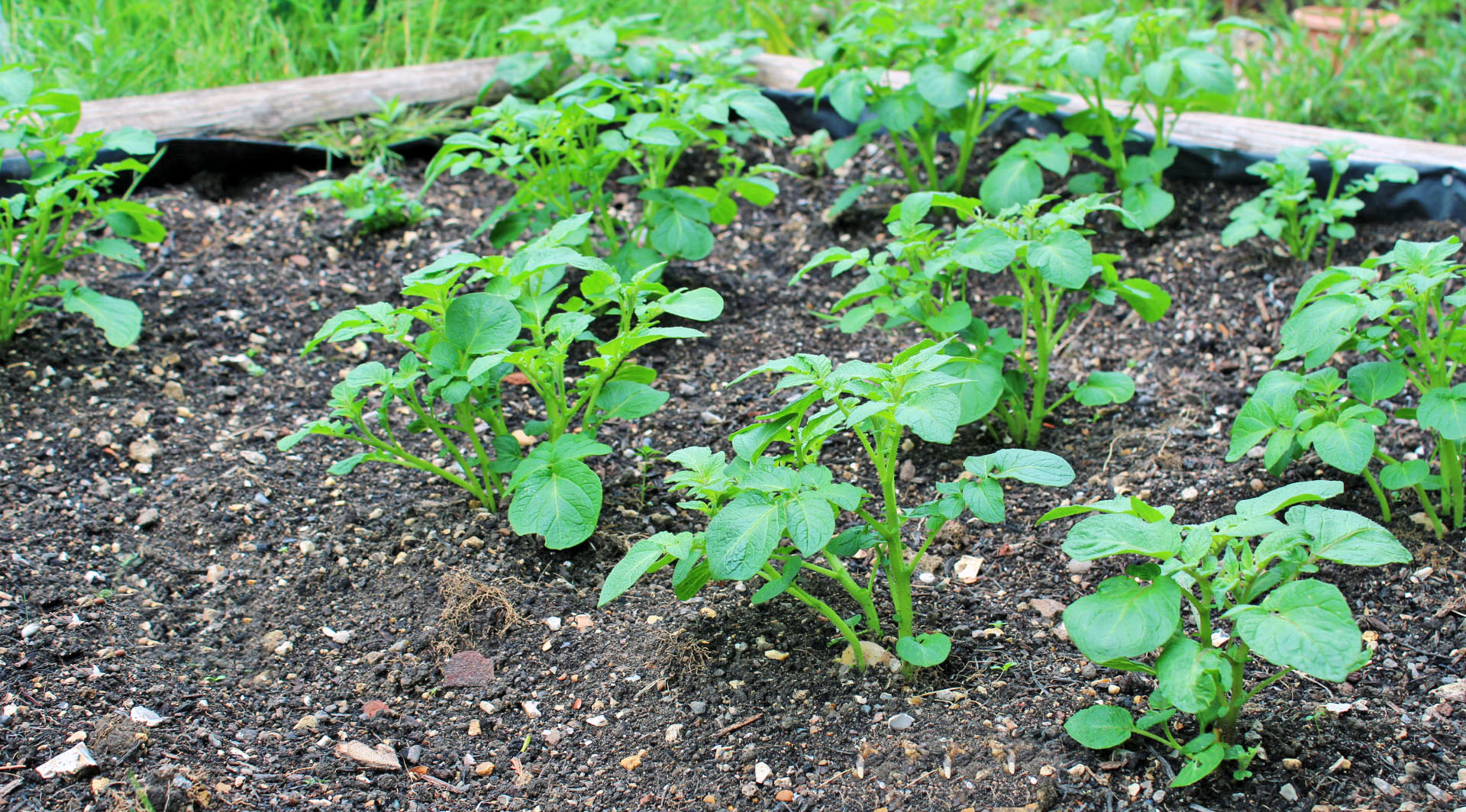 Our vegetable garden: back from the brink