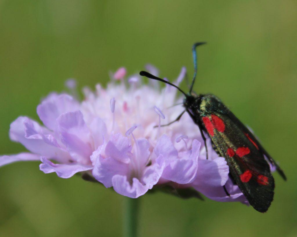 photographing butterflies, butterfly, moth, photography, MySUndayPhoto, #MySundayPhoto, common land, nature photography, dadbloguk, dad blog uk, dadbloguk.com, school run dad,