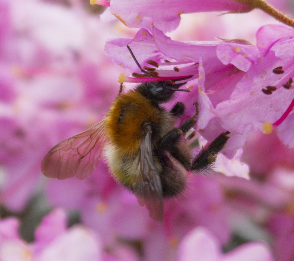 bee collecting pollen, bee, burst mode, sports mode, photography, #mysundayphoto, dadbloguk, dad blog uk, dadbloguk.com, school run dad, National trust