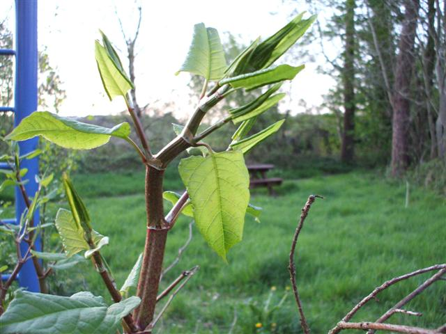 Unhappy memories of Japanese knotweed