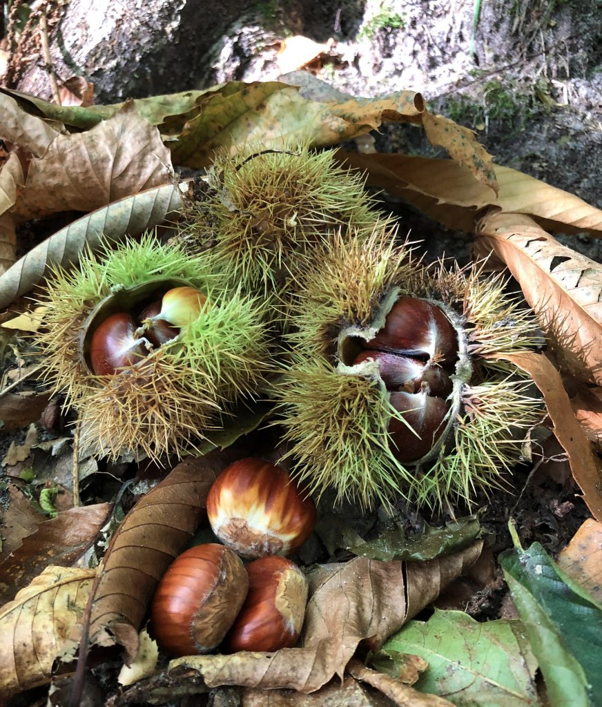 autumn, horse chestnuts, chestnuts, photography. #mysundayphoto, dadbloguk, dadbloguk.com, dad blog uk,, uk dad blog, uk dad blogger