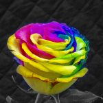 A rainbow rose to mark Valentine's Day