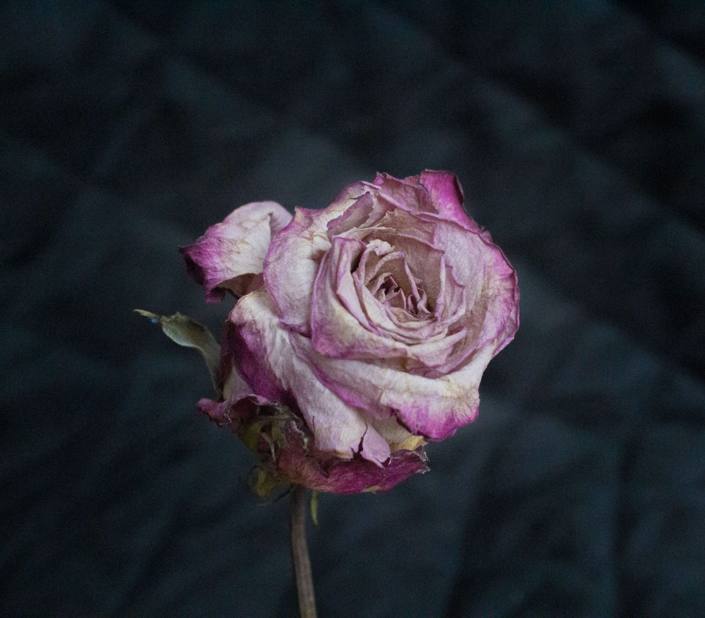 photography challenge, photography inspiration, photo ideas, photography ideas, faded rose, old rose, dried rose, dadbloguk uk dad blog, dad blog, photographer. photo blog