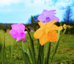 Photoshop, editing, daffodil, daffodils, photography, fun photo, fun photograph, dadbloguk, uk dad blog,