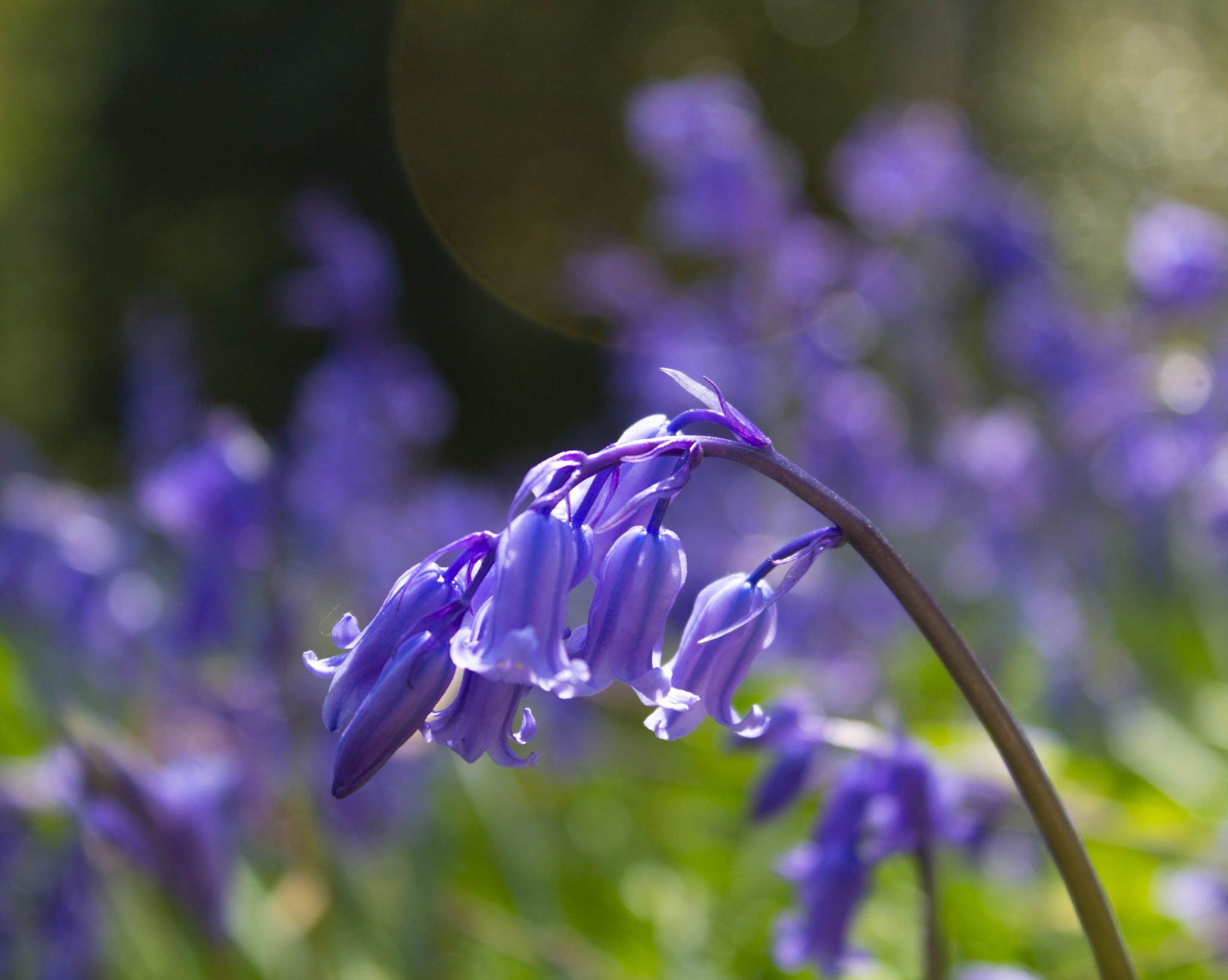 Keeping it simple: Bluebell image