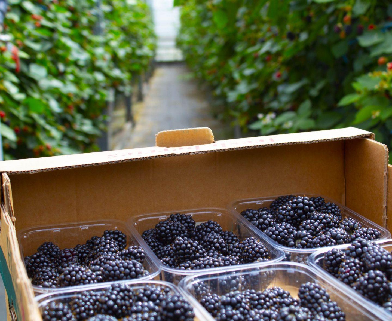 Blackberries, Driscoll's Victoria Sweet Blackberries, Hugh Lowe farms, berries, berry farm, dad blog, healthy eating, dadbloguk