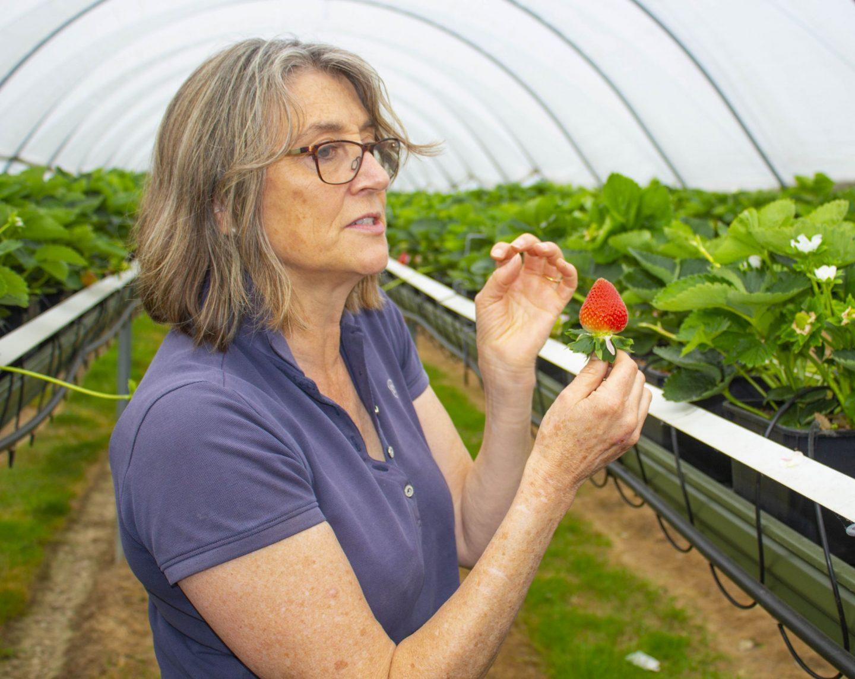 Hugh Lowe farms, strawberries, Marion Regan, berries, dad blog, dadbloguk.com, kent