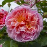 Princess Anne rose