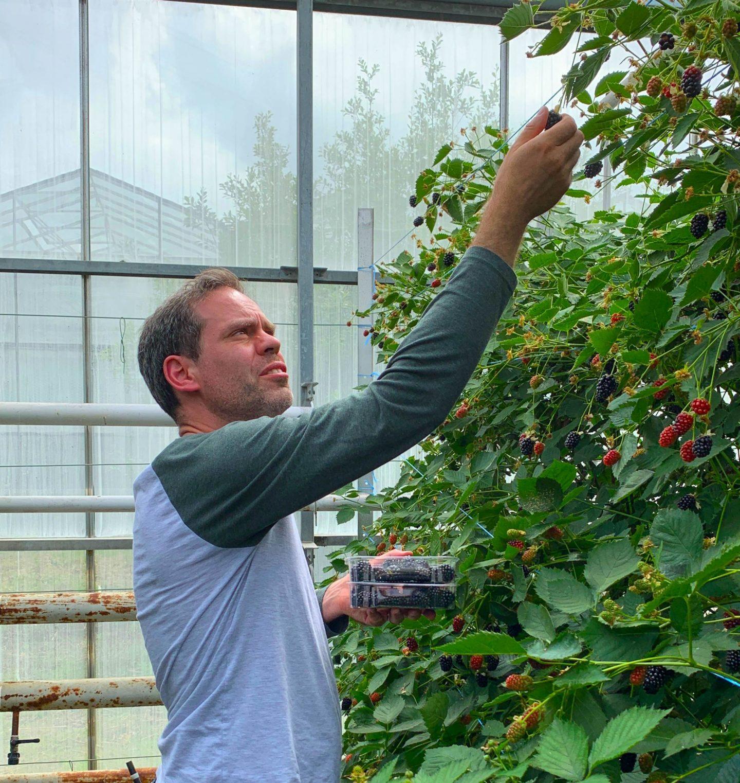 blackberry picking, blackberries, healthy eating, healthy food, dad blog, dadbloguk