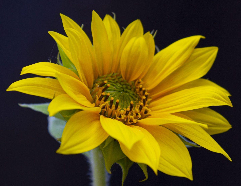 sunflower, competition, dad blog, dadbloguk, gardening, plants, dadbloguk.com