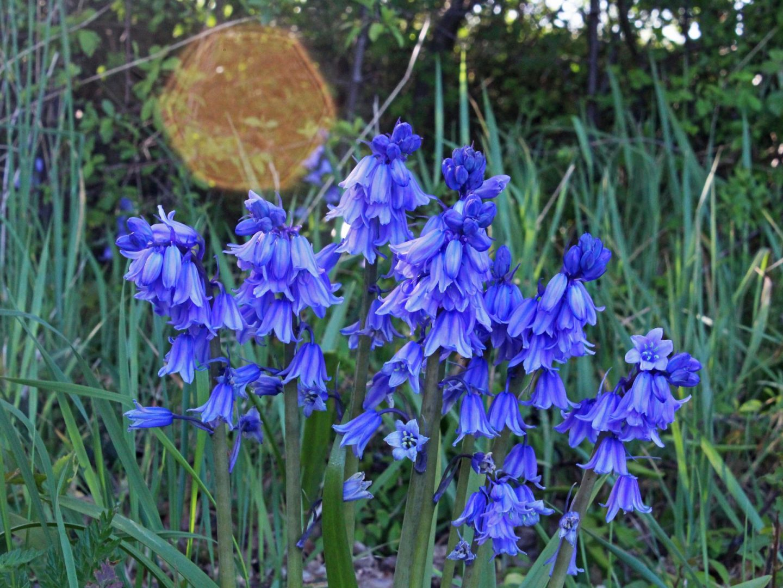 bluebells, sun flare