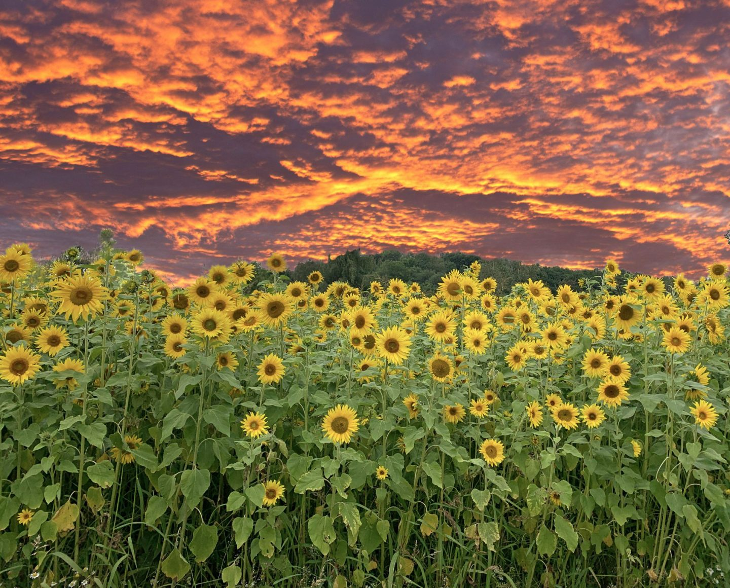 A photo representing my week.  A dramatic sky over a field of sunflowers.