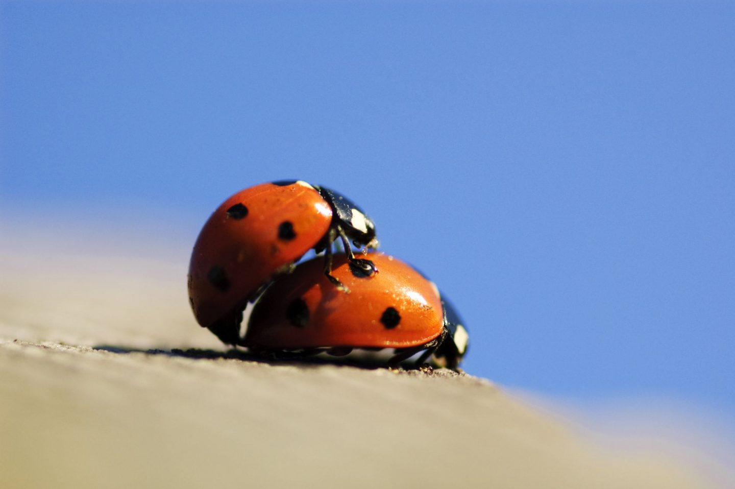 Picture of ladybirds mating, proving they still have a sex life in lockdown.