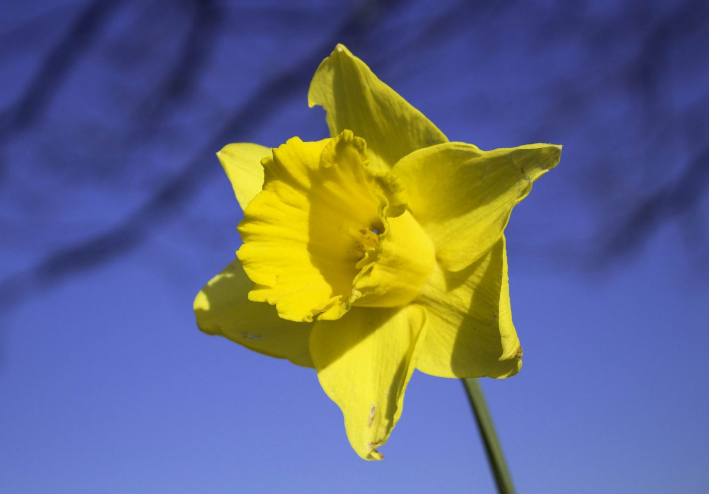 Daffodil photographed to mark Easter holiday