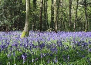 woodland landscape with bluebells