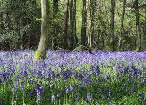 woodland landscape with bluebells