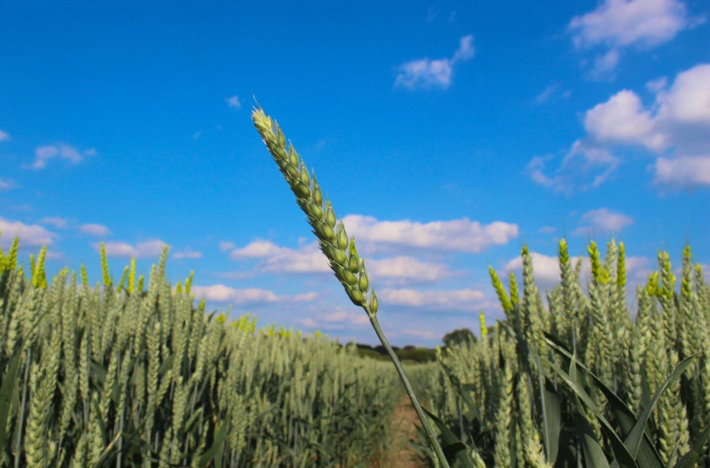 corn, wheat, blue sky, obsession with corn