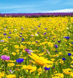 Wild flowers at Cotswold Lavender farm