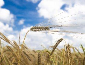 barley, summer, corn, crops